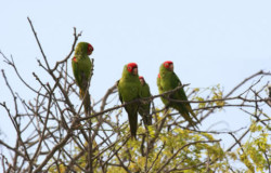 Local parrots resting