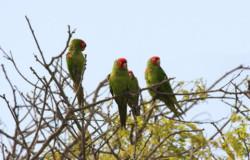 Papageien des San Lorenzo