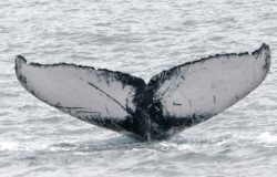 Fluke of a humpback whale