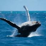 Avistamiento (observación) de ballenas jorobadas en Manabí Ecuador