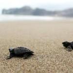 Eclosión (nacimiento) de tortugas marinas en San Lorenzo Manta Ecuador