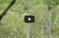 Monos aulladores en el bosque Pacoche